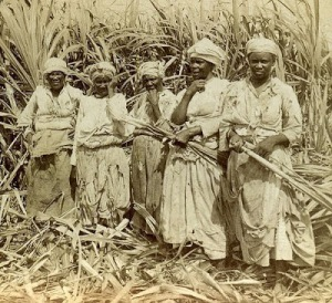 Sugar Fields in Montego Bay Jamaica 1900
